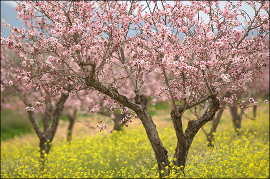 Photograph of almond trees in bloom.