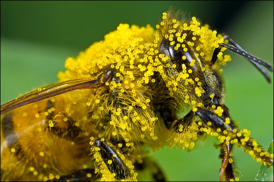 Close-up photograph of bee covered in pumpkin flower pollen.