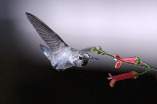 Photograph of a hummingbird sipping nectar from a flower.