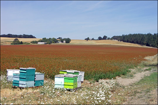 Photograph of bee hives on a farm near Monmouth, Oregon.