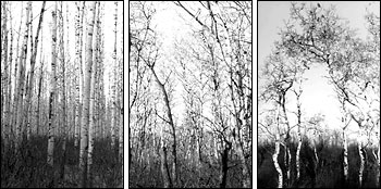 Photographs of Aspen Groves