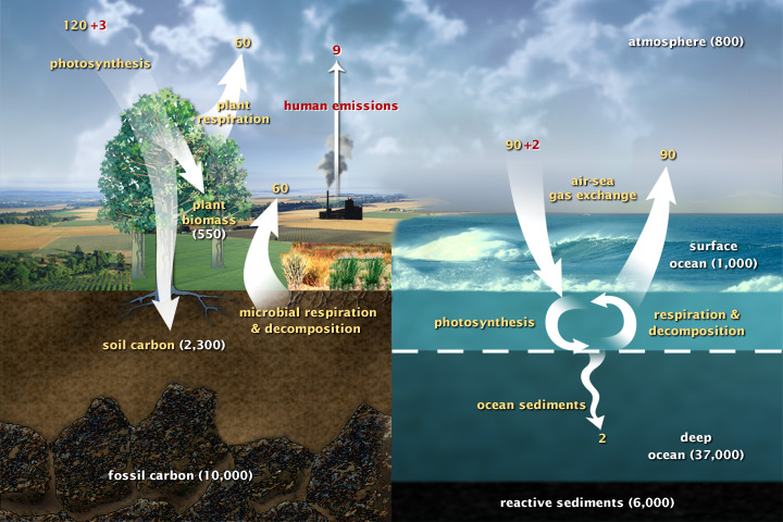 Diagram of the carbon cycle- source  earthobservatory.nasa.gov