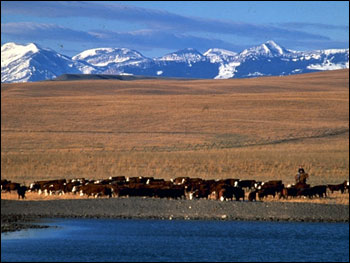 Photograph of Cattle on the Range