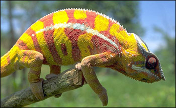 Photograph of Madagascan Chameleon