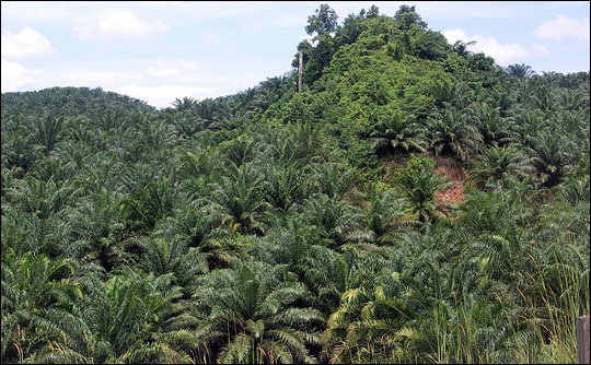 Photograph of a palm oil plantation, Borneo
