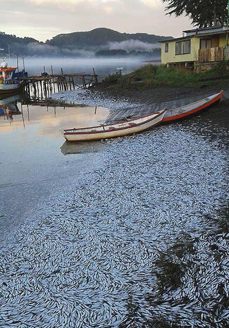 Photograph of numerous dead sardines on the coast of Chile.