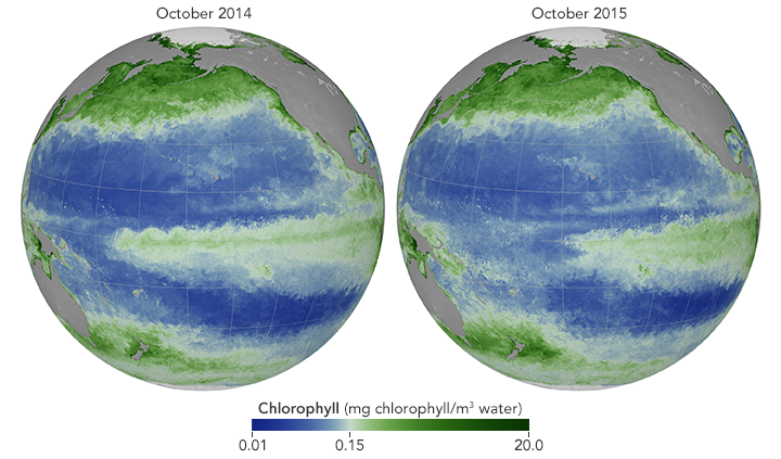 Maps showing changes in chlorophyll concentration in response to El Niño.