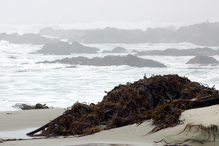 Kelp on a California Beach
