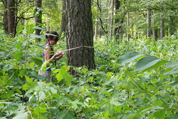 Photograph of a researcher measuring trees in a forest.