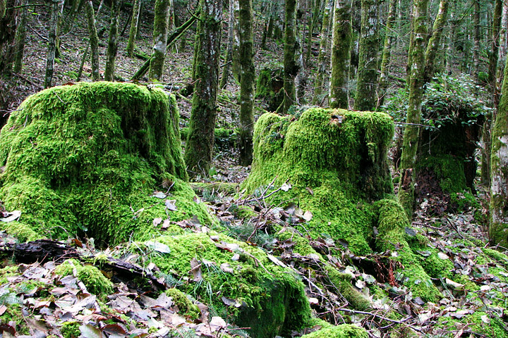 Photograph of old-growth stumps in a forest logged 80 years ago.