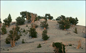Photograph of Bristlecone Pines, Inyo Mountains