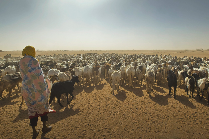 A herd of sheep and goats grazing in Chad.