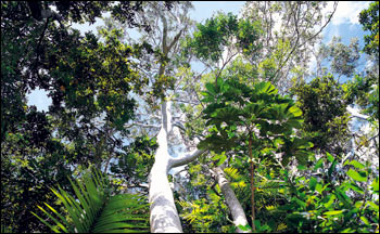 Photograph Looking Up at  the Rainforest Canopy