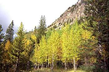 Aspens in coniferous forest