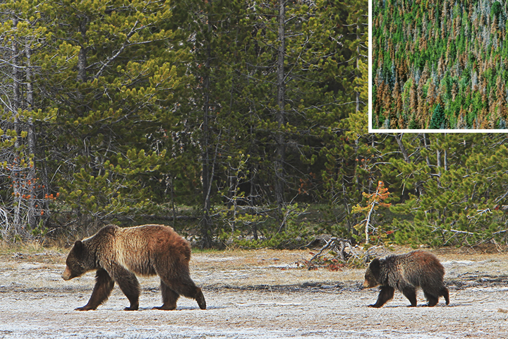 Photo of grizzly bears and trees damaged by the pine beetle.