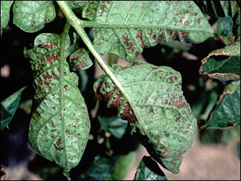 Photo of Potato Leaves Damaged by Ozone