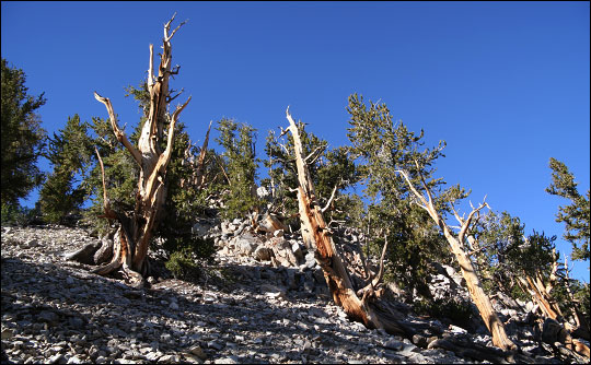 Photograph of bristlecone pines along the Methuselah Trail, Inyo National Forest