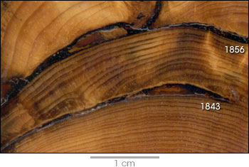Photograph of fire scars on a tree cross section