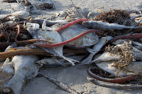 Photograph of fish killed by a red tide on the shore of Padres Island, Texas.