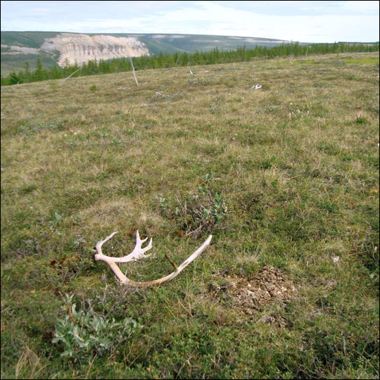 Photograph of siberian tundra and reindeer antlers.