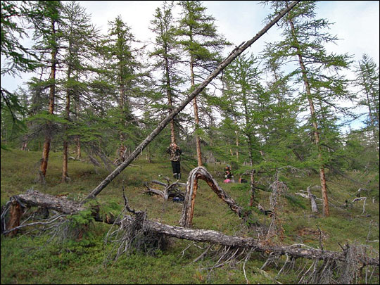Photograph of of dead larch trees in Siberia.