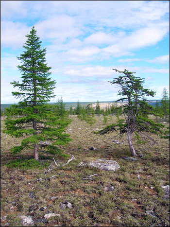 Comparison of young and old larch trees.