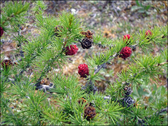 Photograph of larch cones.
