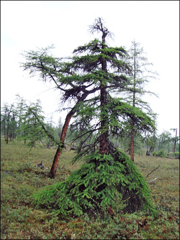 Photograph of a 'tree in a skirt' on a mountain in the Siberian Traps.