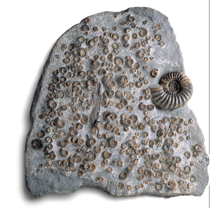 Photograph of ammonites embedded in rock of the Jurrassic Lias formation.