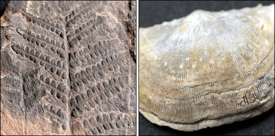 Photographs of a fossil fern from the Carboniferous period, and a fossil clam from the Permian period.