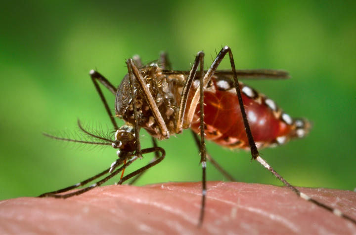 Aedes aegypti mosquitoes carry several tropical diseases, including chikungunya, dengue, Zika, and yellow fever