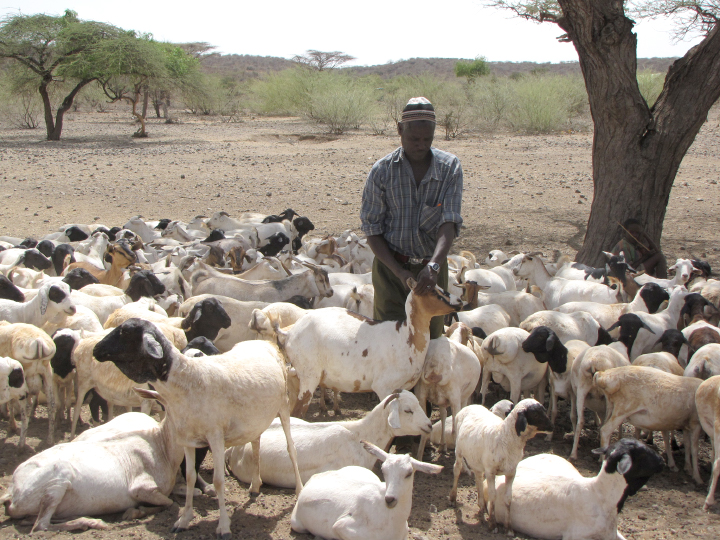 Sheep in Kenya are treated with vaccines to keep from spreading Rift Valley fever to humans