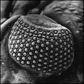 Eye of the trilobite Phacops