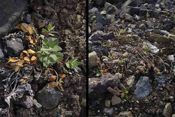 salixarctic-epilibium-latifolium