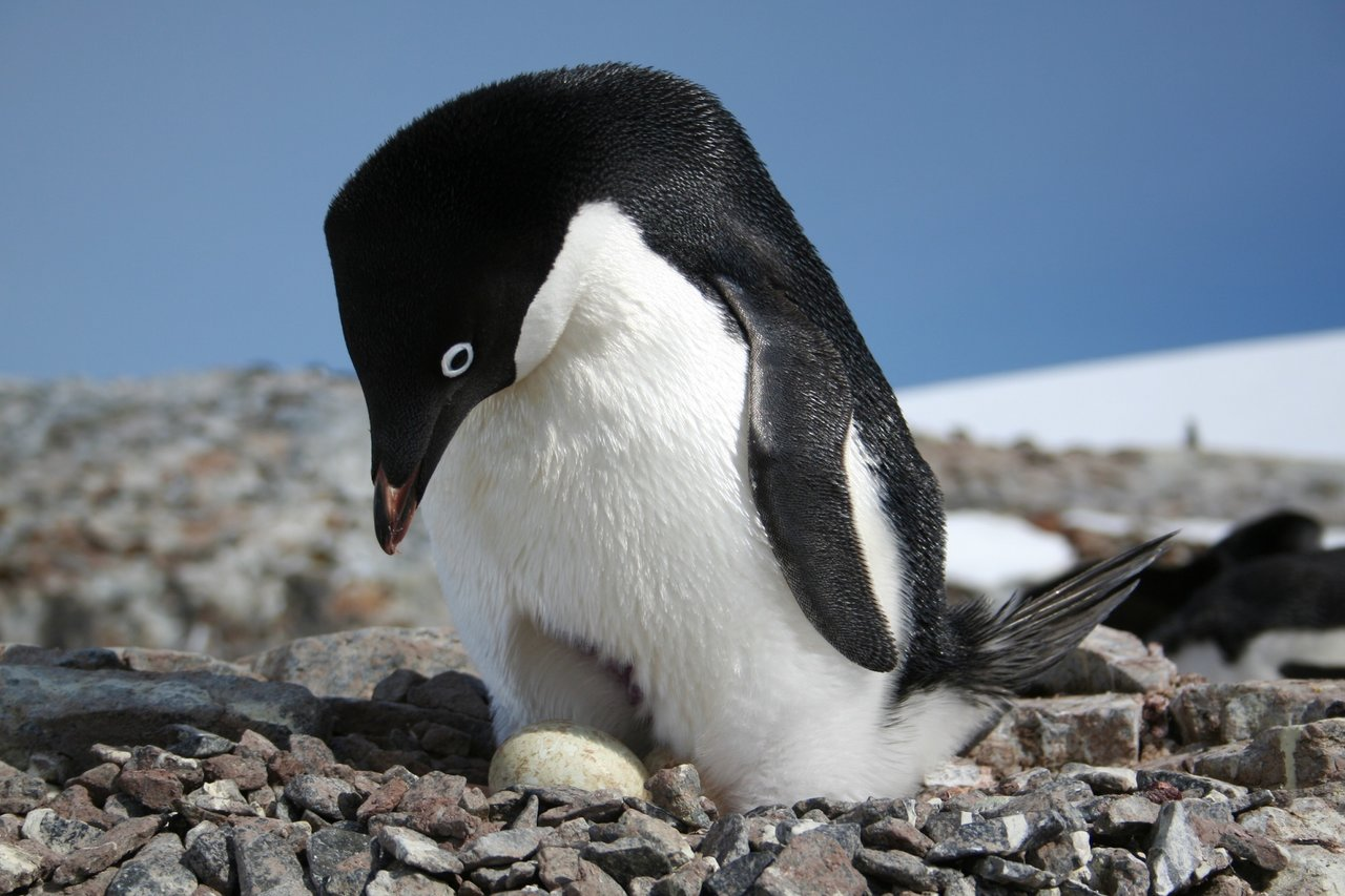 Satellites Probe Droppings for Clues About Penguin Populations