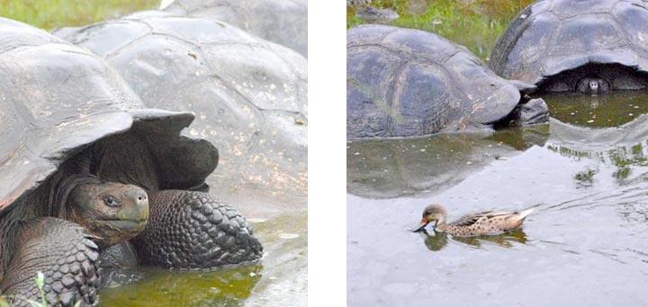 Tortoises in the water