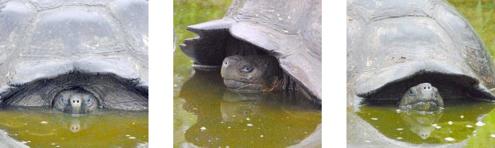 Tortoises in the water