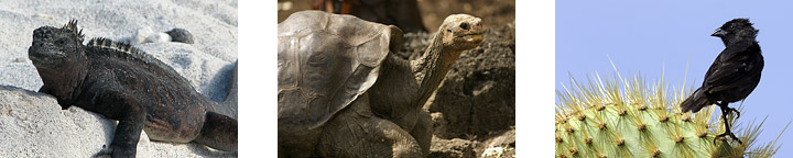Iguanas, tortoises, and finches are some of the most distinctive animals that have evolved many new species on the isolated Galapagos islands.