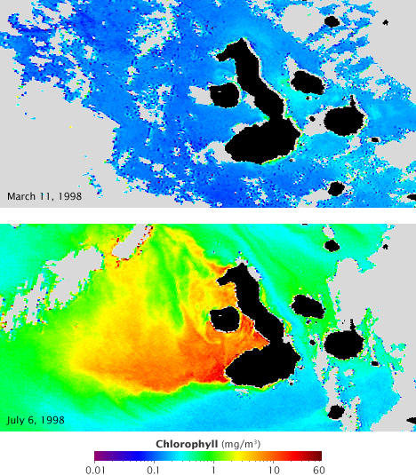 Chlorophyll concentrations during the 1998 El Nino/La Nina as seen by SeaWiFS.