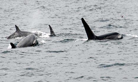 A pod of four Orca