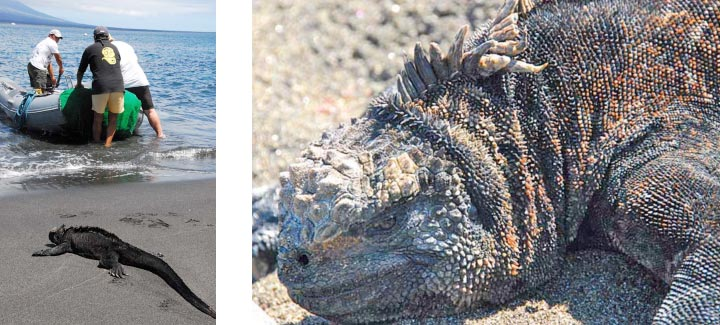Photo of marine iguana on the beach