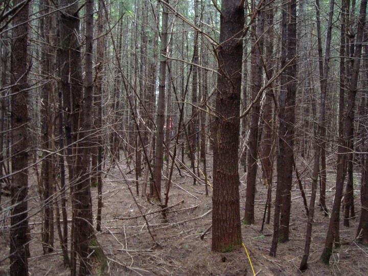 The Penobscot Experimental Forest. This site is very densely populated with white pine and balsam fir.  The forest is dark, with any green out of sight high overhead and a thick litter of dry pine needles on the floor.