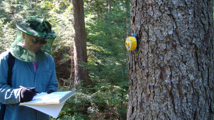 The scientists are using several methods to measure tree height.  The sonic hypsometer is proving to be quite good in dense forest.  Pictured is Yong Wang taking a reading and a yellow transponder from a sonic hypsometer attached to a tree.