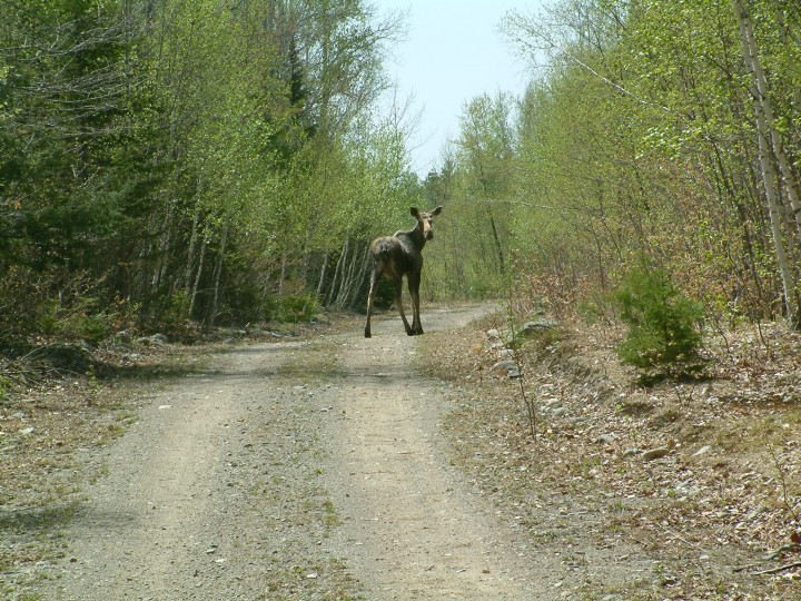 Moose are often found in the Howland Forest area.  This young moose was spotted by John Lee.  Photo by John Lee.