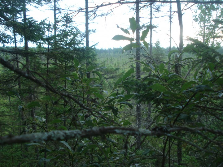 Looking through the trees, a bog can be seen in the background.  In the late 1980s this area was waterlogged and open. Now trees are beginning to fill in the bog.  Photo by Jon Ranson.