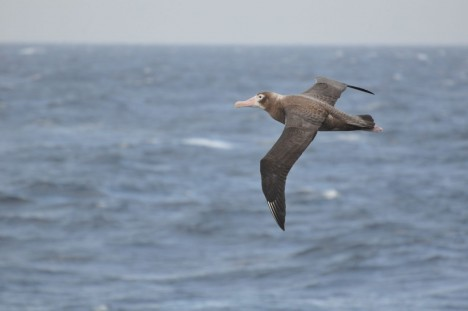 Flying Petrel