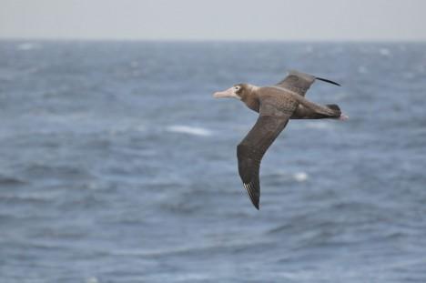 Flying Petrel