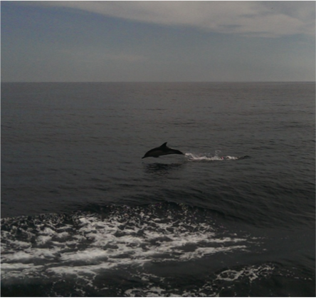 Dolphins jumping out of the water to see us off! Photo courtesy of Ivona Cetinic, University of Maine