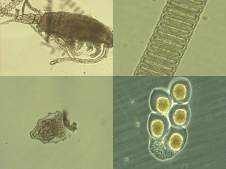 Clockwise from top left: A zooplankton species with a thalssiosira chain in the background; Paralia spp.; a colony of what may be dinoflagellates, and; a ciliate in a protective house -- it is most likely that the ciliate ate the phytoplankton that made this outter shell and it now using the shell for protection agianst zooplankton.