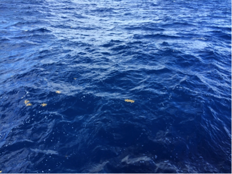 The very blue water of the Sargasso Sea, with a few floating pieces of Sargassum. Each piece is roughly the size of dinner plate, for scale. Credit: Ali Chase